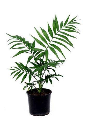 cuidar las palmeras dentro de casa