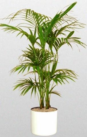 C mo cuidar las palmeras dentro de casa blogdecoraciones for Palmeras de interior