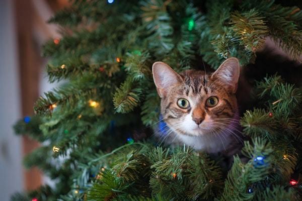 Gato en abeto navideño