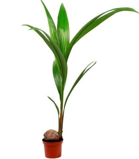 cuidar palmeras dentro de casa 72