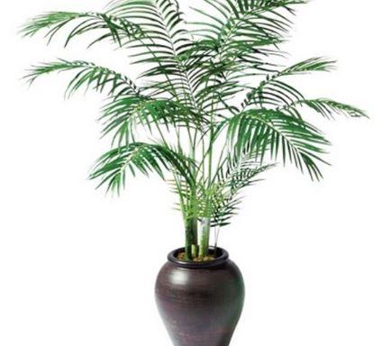 C mo cuidar las palmeras dentro de casa blogdecoraciones for Tipos de palmeras de exterior